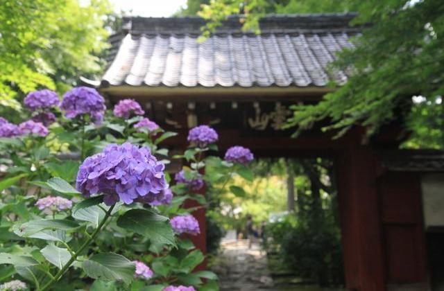 【2020年開催中止】本光寺紫陽花まつり