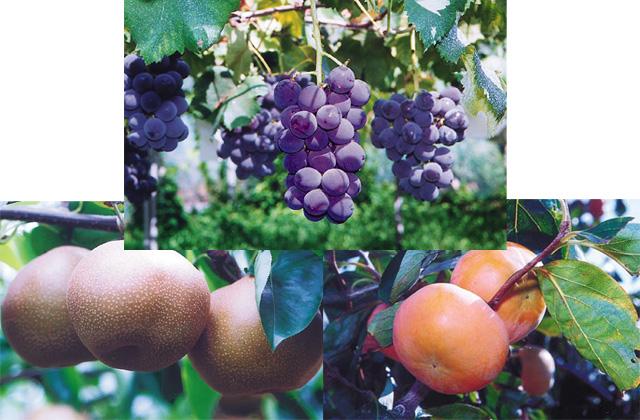 柿子、梨子、葡萄