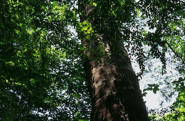 段戸裏谷原生林