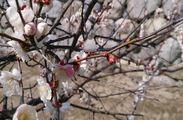 松坂城跡(松阪公園)の梅