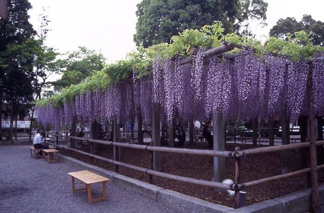 三大神社の砂擦りの藤