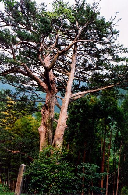 熊野のヒダリマキガヤ