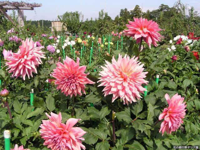 花の郷日野ダリア園