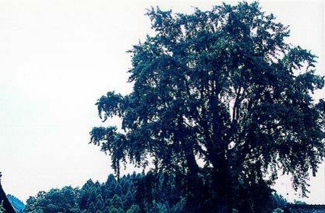了徳寺のオハツキイチョウ