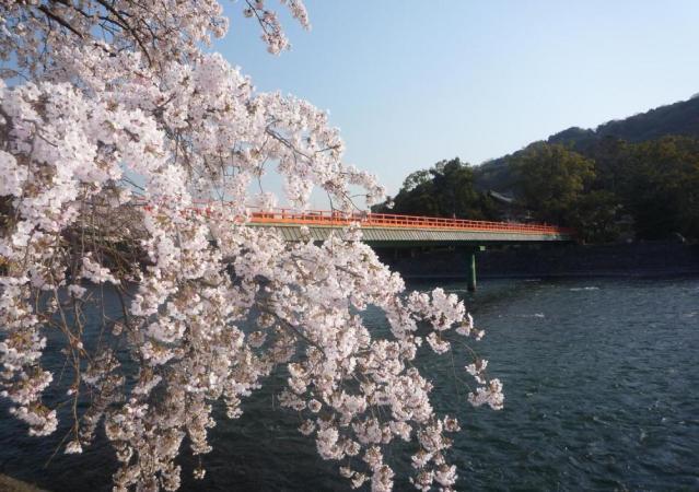 Uji River Cherry Festival★26204ba2212056464