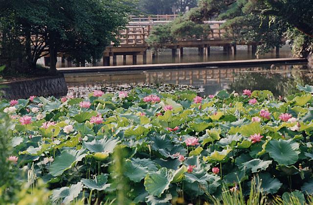 八条ケ池西池のアヤメ・ショウブ・カキツバタ・ハス