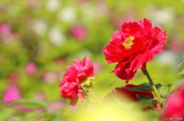 大仙公園日本庭園「牡丹展」
