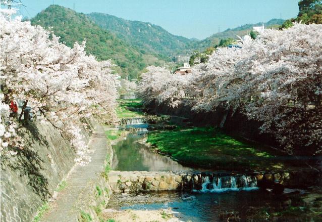 芦屋川河畔の桜並木