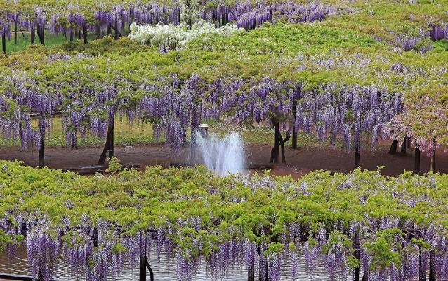 大町紫藤公園的藤架