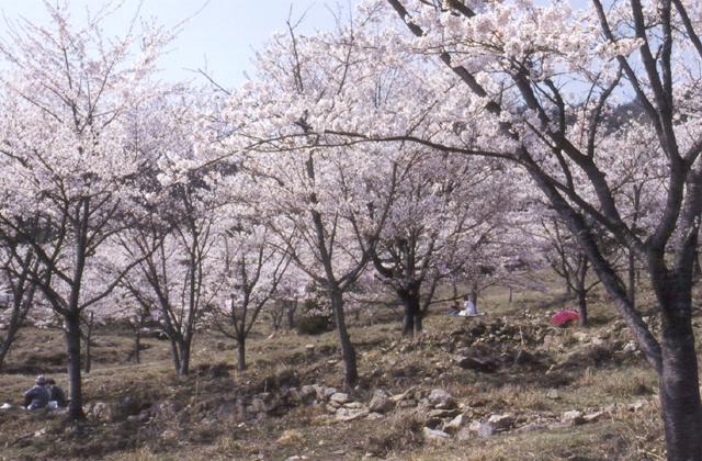 丹治桜公園