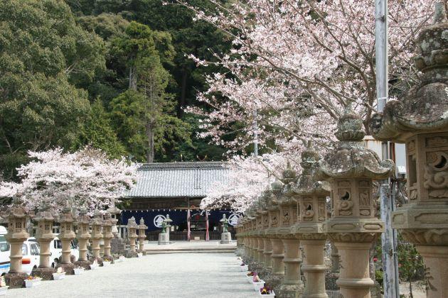 金刀比羅神社の桜