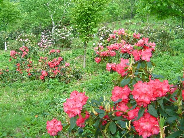 National Rhododendron Park Festival