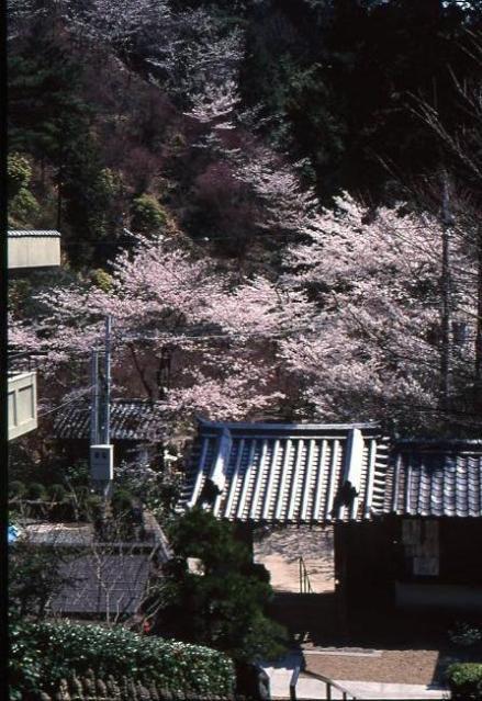 1000光寺的櫻花、紅葉