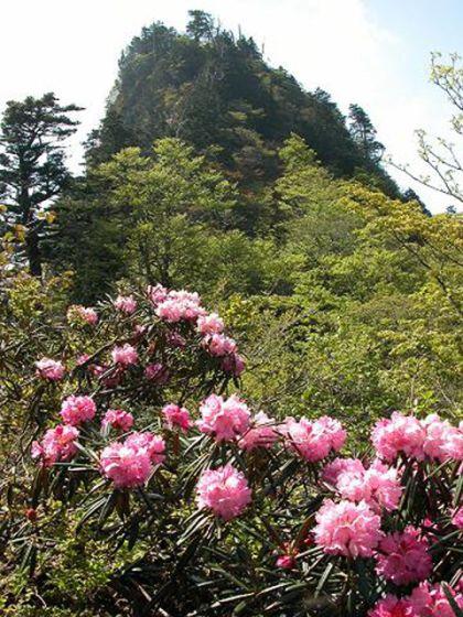 稲村ケ岳のシャクナゲ