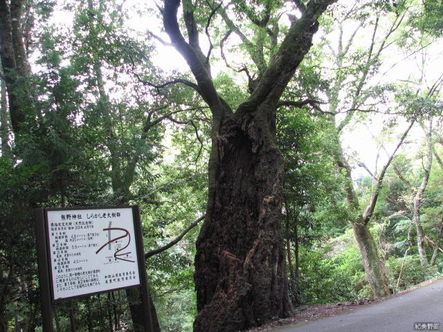 熊野神社noshirakashino老大樹群