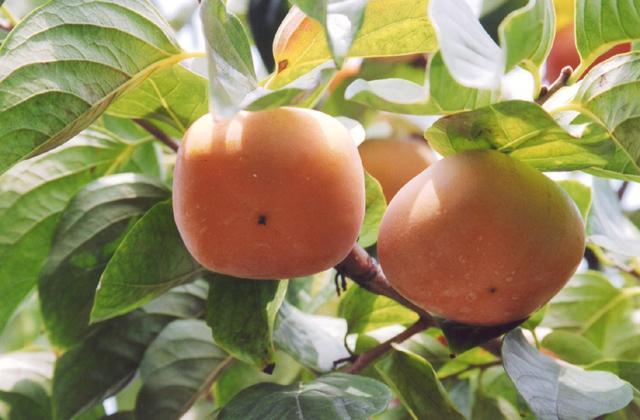 平核無柿子