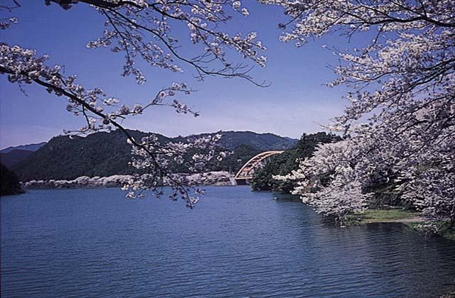 七川ダムの桜