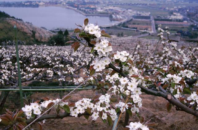 二十世紀梨の花
