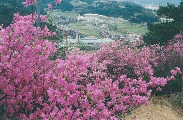 亀井公園のツツジ
