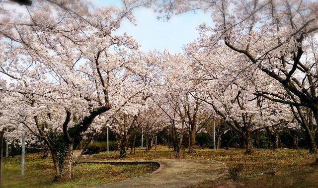 一畑公園 桜