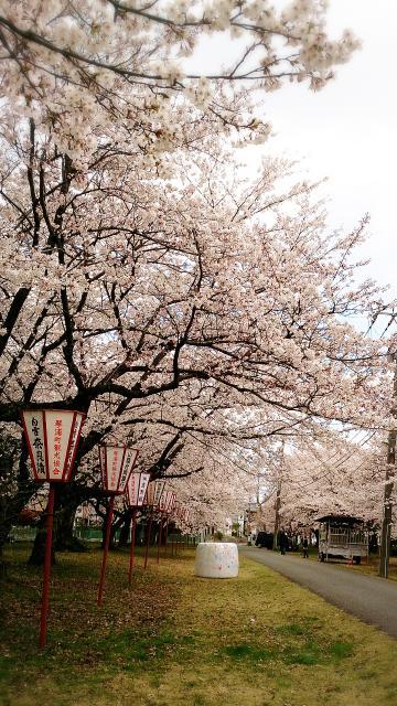 鳥取牧場(正門前桜並木)