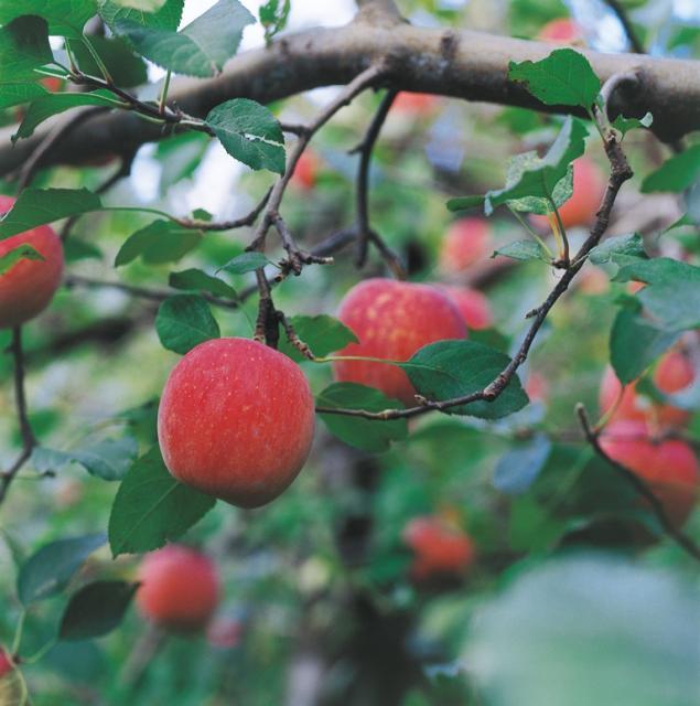 神田りんご園