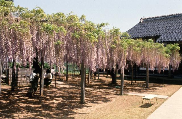 住雲寺の藤