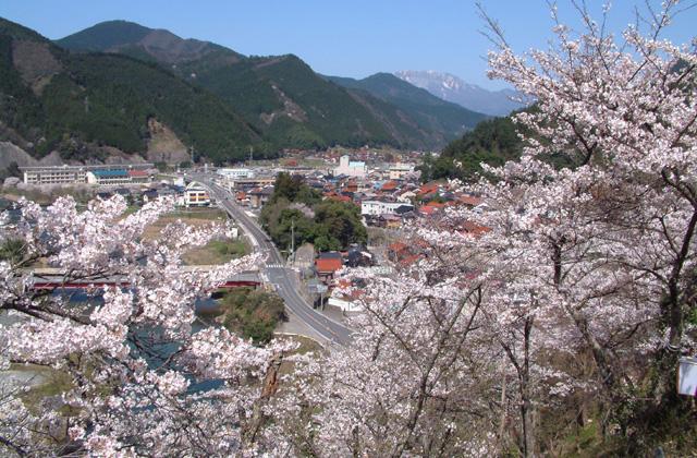 塔の峰公園の桜