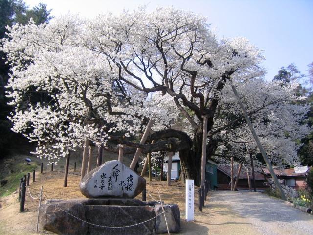 大平櫻花節