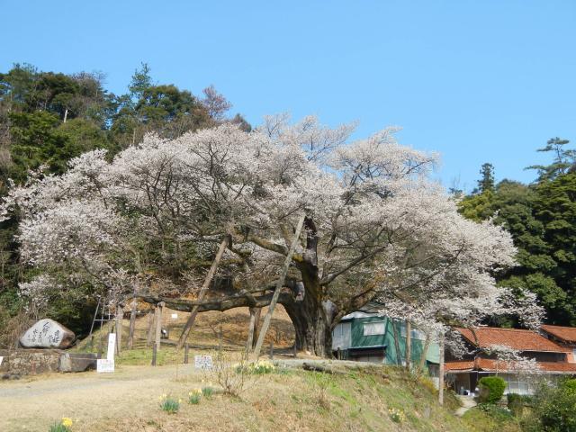 Misumi Obira Cherry Tree★S3205