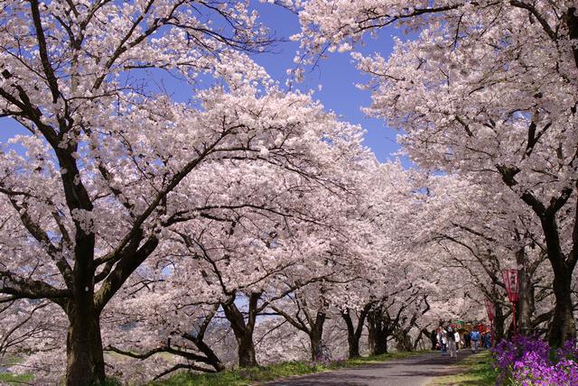 雲南市桜まつり(木次)