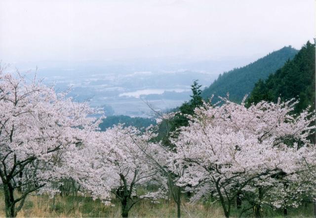 声ヶ乢桜まつり(津山さくらまつり)