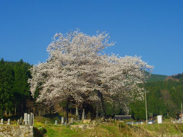 【2021年中止】尾所の桜まつり(津山さくらまつり)