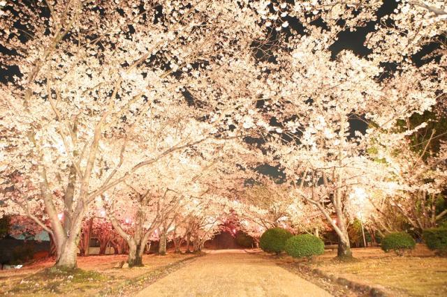 早島公園夜桜ライトアップ