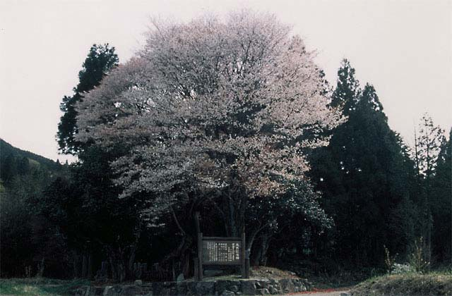 黒岩の山桜