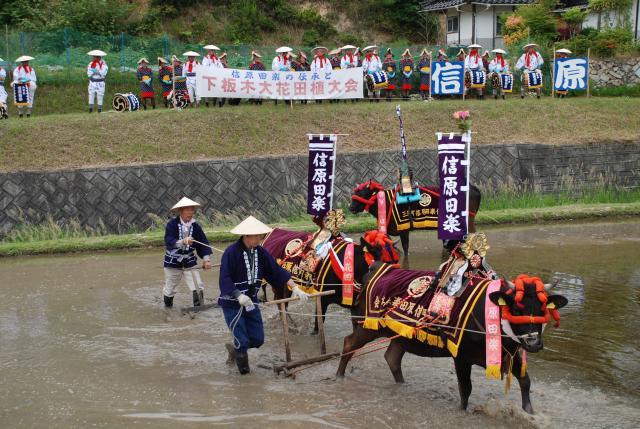 Sincerity Harada comfort size flower rice-transplanting