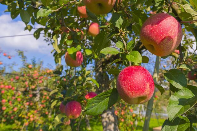 金安りんご園