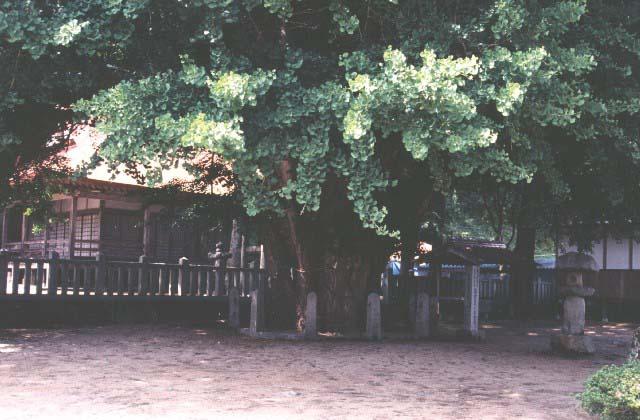 筒賀の大銀杏