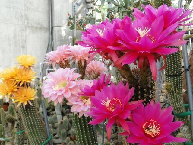 ときわミュージアムサボテン室の花サボテン