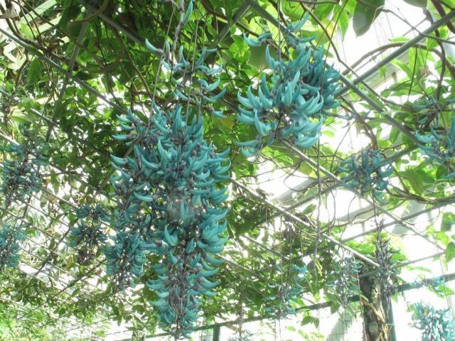 ときわミュージアム熱帯植物園 ヒスイカズラ
