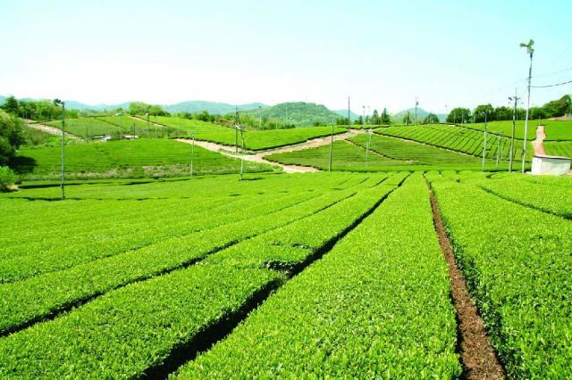 藤河内茶園