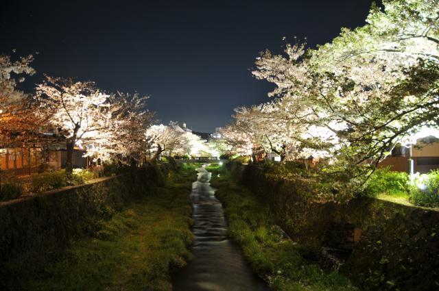 一の坂川 桜のライトアップ