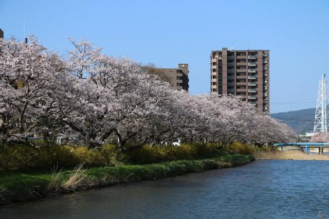 切戸川河川公園/さくら