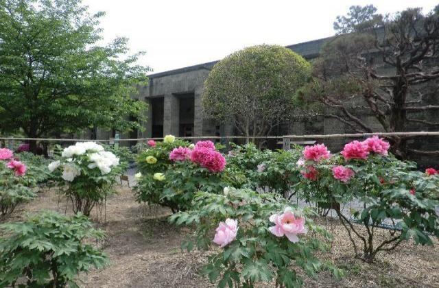 吉香公園/ぼたん