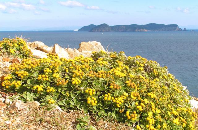 蒲生田岬のシオギク