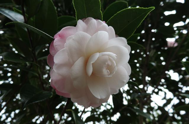 Camellia Festival Tokushima Prefecture