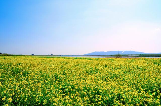 吉野川堤防沿いの菜の花