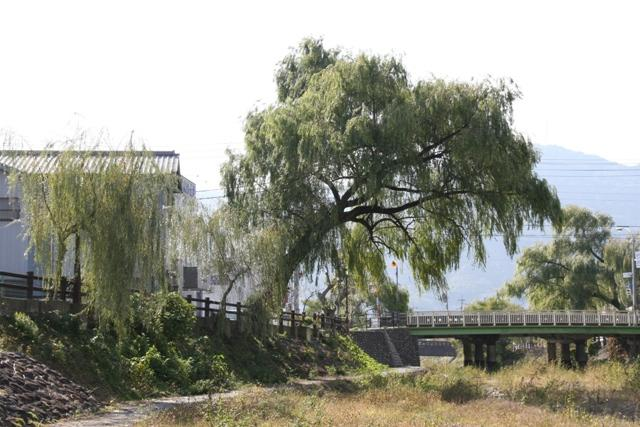 大谷川の柳並木