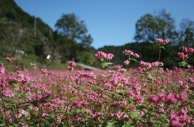 横瀬立川の赤そばの花