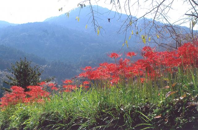 神山温泉創造の森の彼岸花